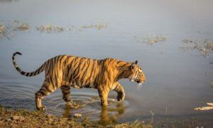 Tigre à Ranthambore